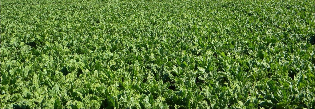 Climate change and sugar beets